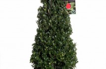 Ilex cr. Dark Green piramide