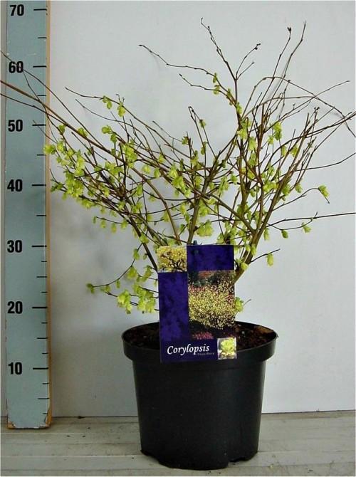 Corylopsis pauciflora 30-40, C5