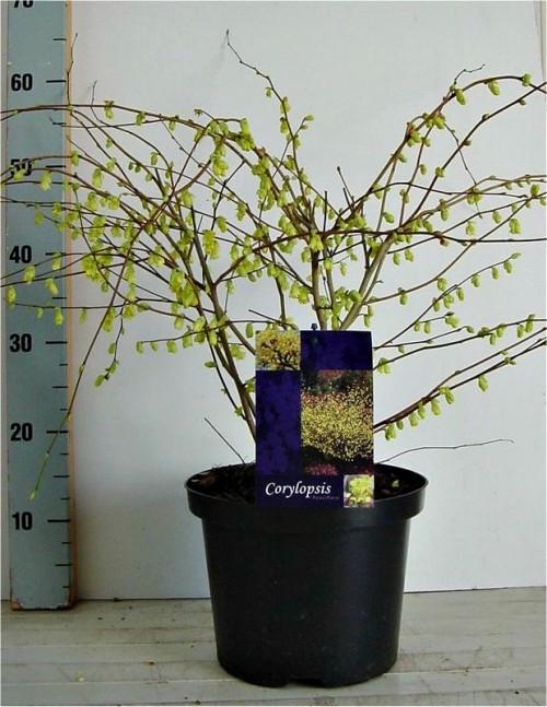 Corylopsis pauciflora 40-50, C5