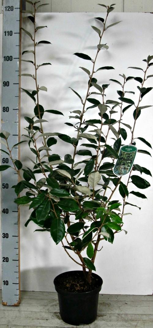 Elaeagnus ebbingei 80-100, C3