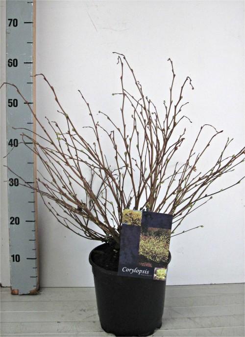 Corylopsis pauciflora 30-40, C3