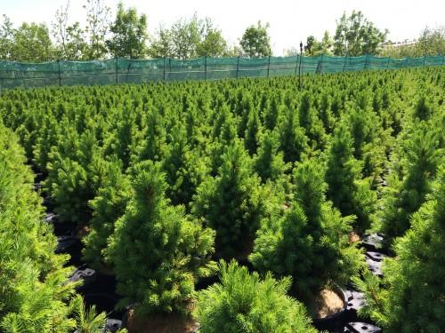 Picea gl.Conica