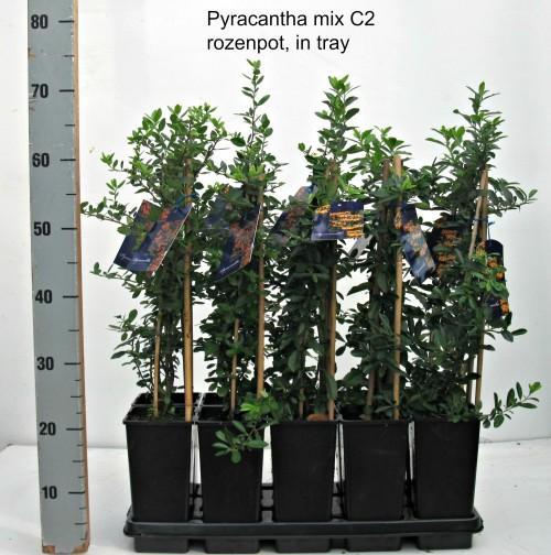 Pyracantha srt C2 rozenpot, tray