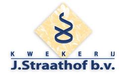 J. Straathof – Jos – Boomkwekerij – Buxus piramiden,  – Boskoop, boomkwekerij
