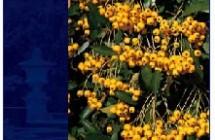 Pyracantha Golden Charmer