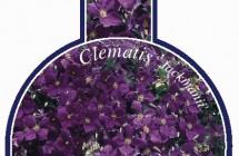 Clematis Jackmanii