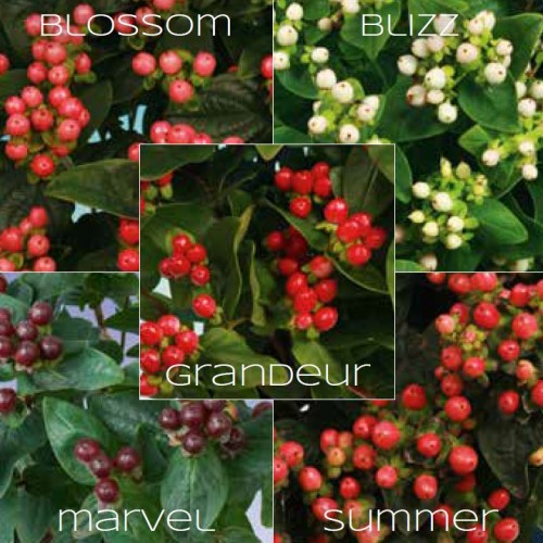 Hypericum mix-kleuren